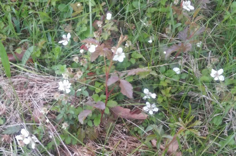 Weed ID - Found in our woods - East Texas | TheEasyGarden com