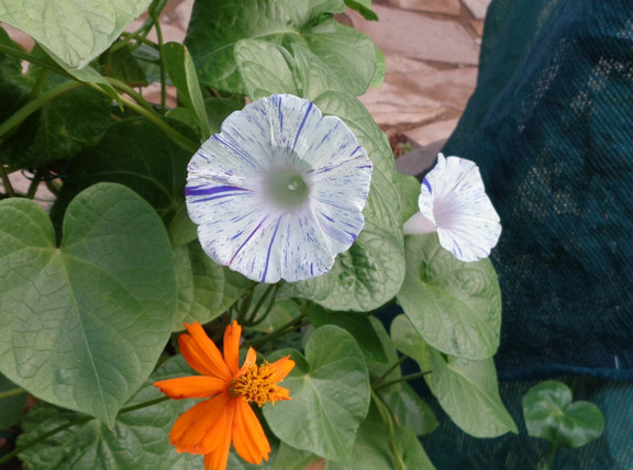 8 17 2014 Striped Morning Glory 01 email.JPG