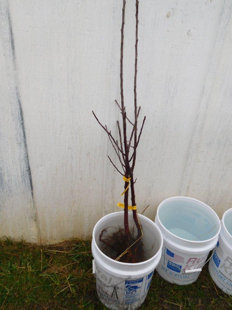 Apple tree planting, 03-30-19, #4.jpg