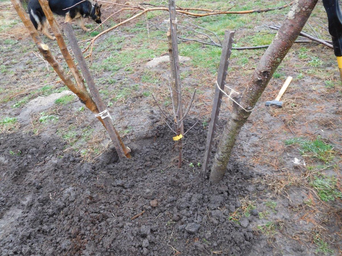 Apple tree planting, 03-30-19, #6.jpg
