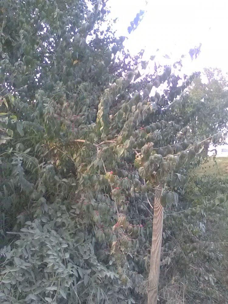 BERRY TREE 1.jpg