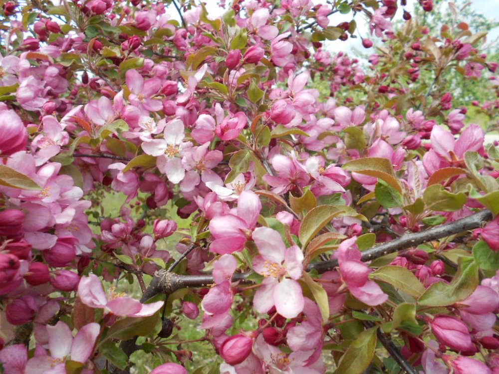 blooms in May 022.JPG