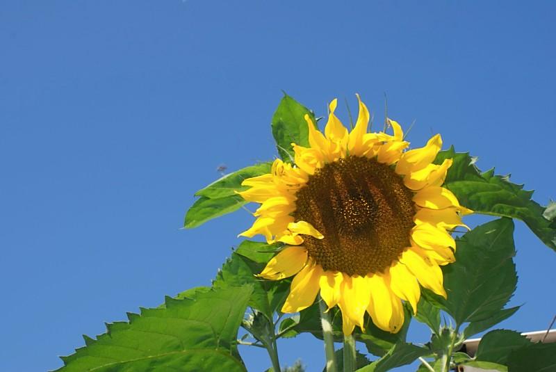 blue sky sunflower.jpg