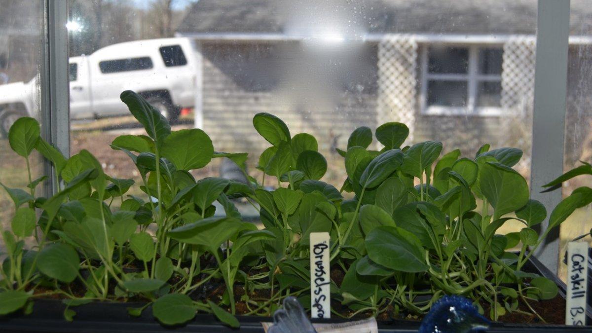 brussels sprouts seedlinngs.jpg