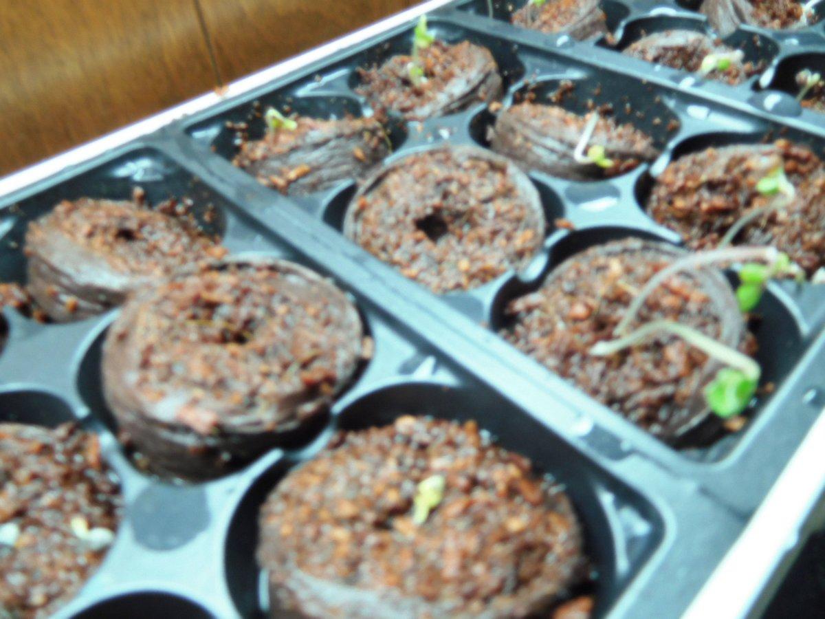 Cauliflower & Broccoli seedlings, 03-11-19, #2.jpg