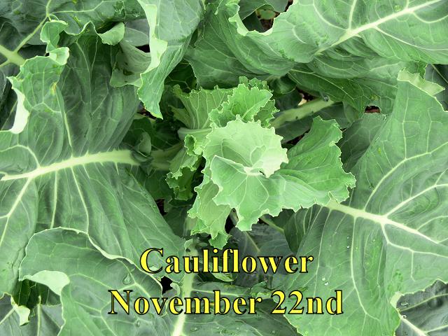 Cauliflower_112214.jpg