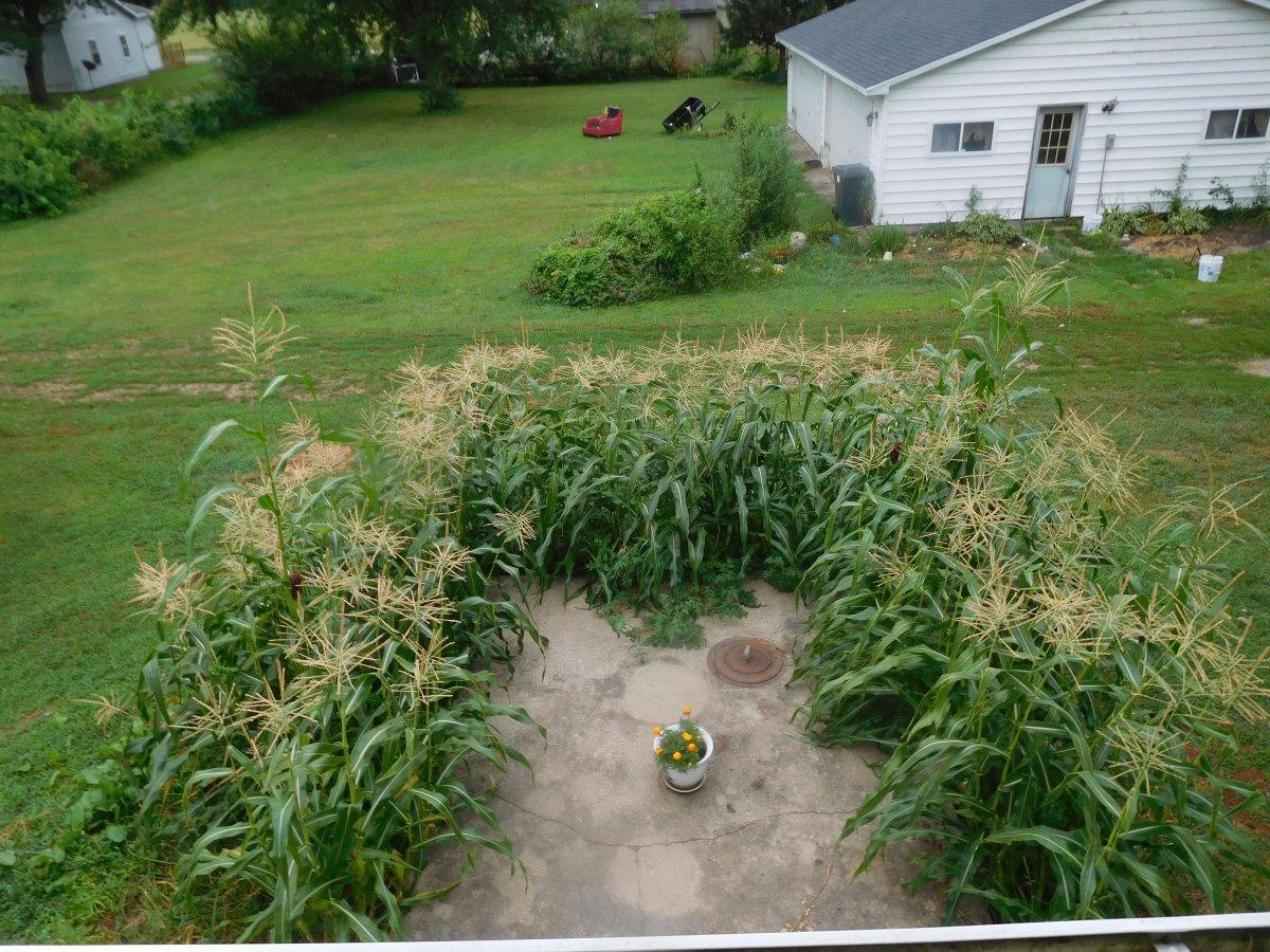 Corn, around cistern, home office view, 08-17-19.jpg