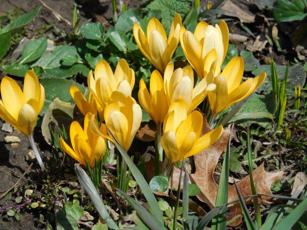 crocus first yellow.JPG