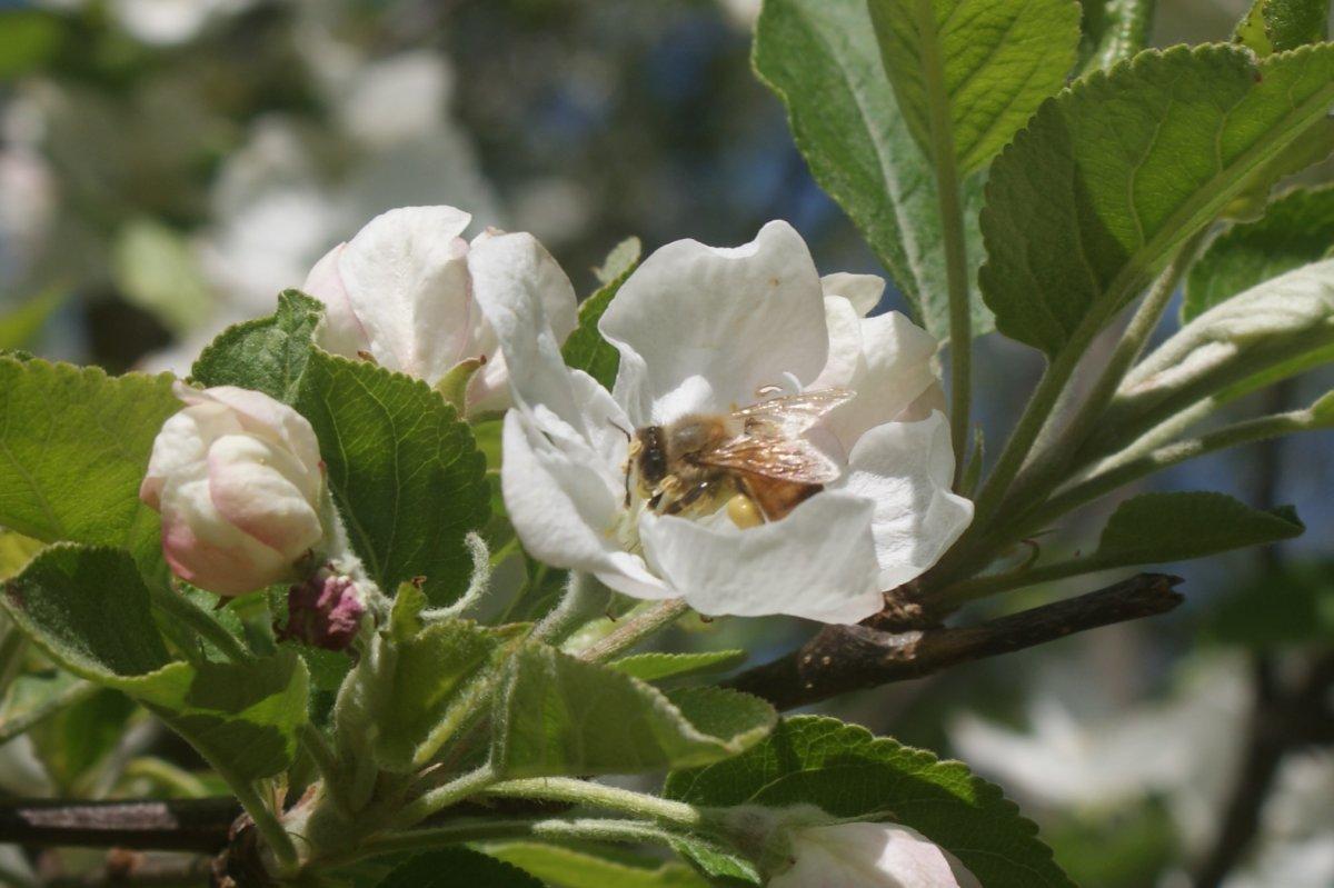 garden , bees apr 23 2017 067.JPG