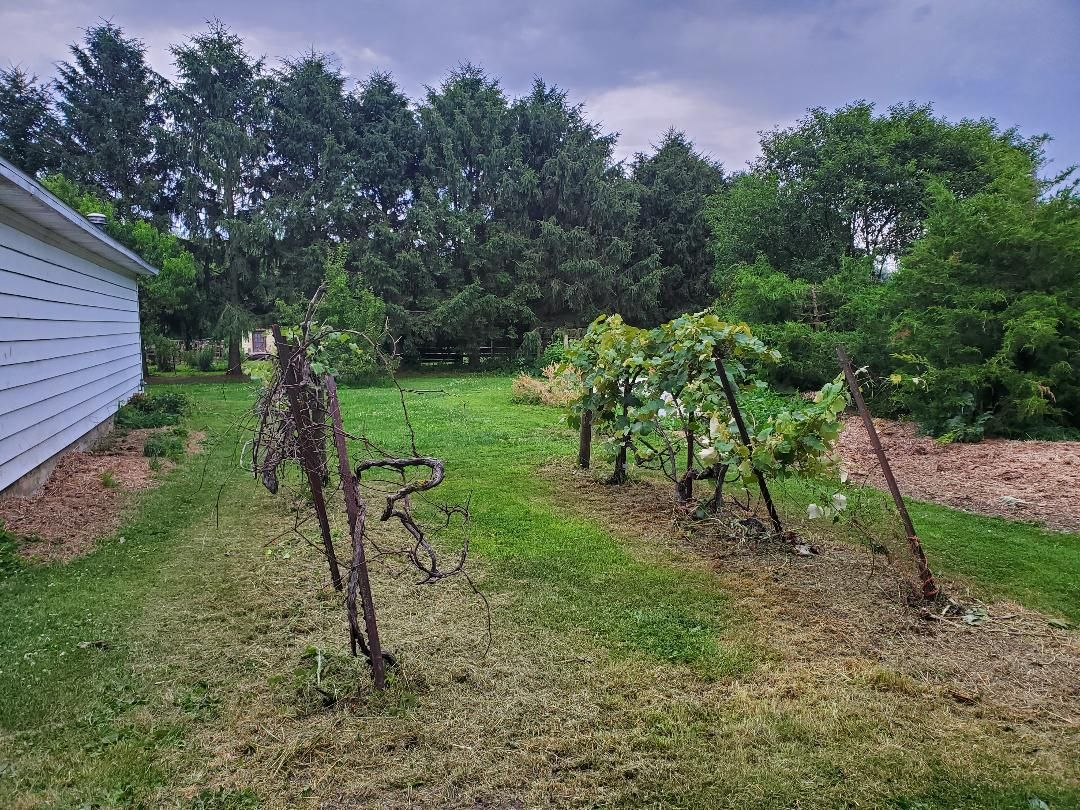 Grape vines, 06-23-2020.jpg