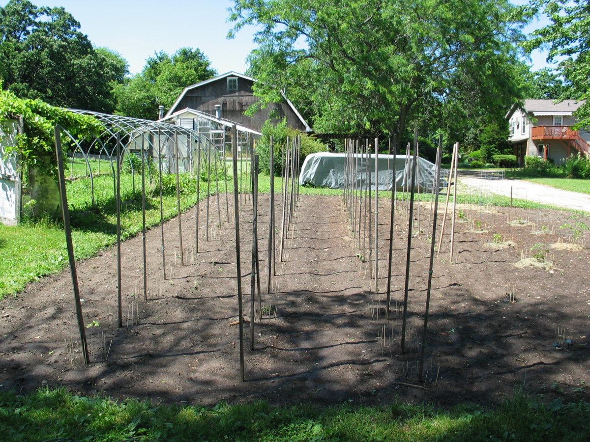 Harwood Pole Beans 6-15-17.jpg