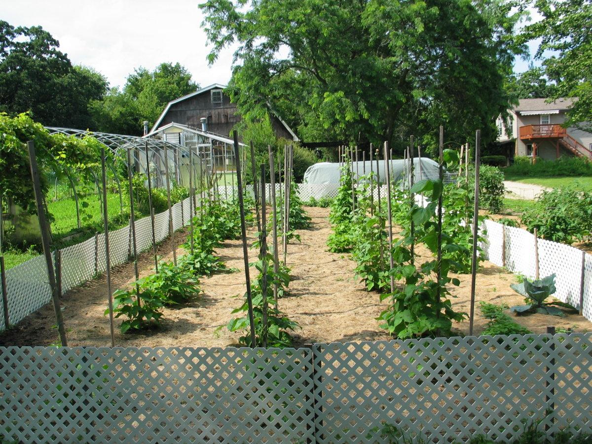 Harwood Pole Beans 7-19-17.jpg