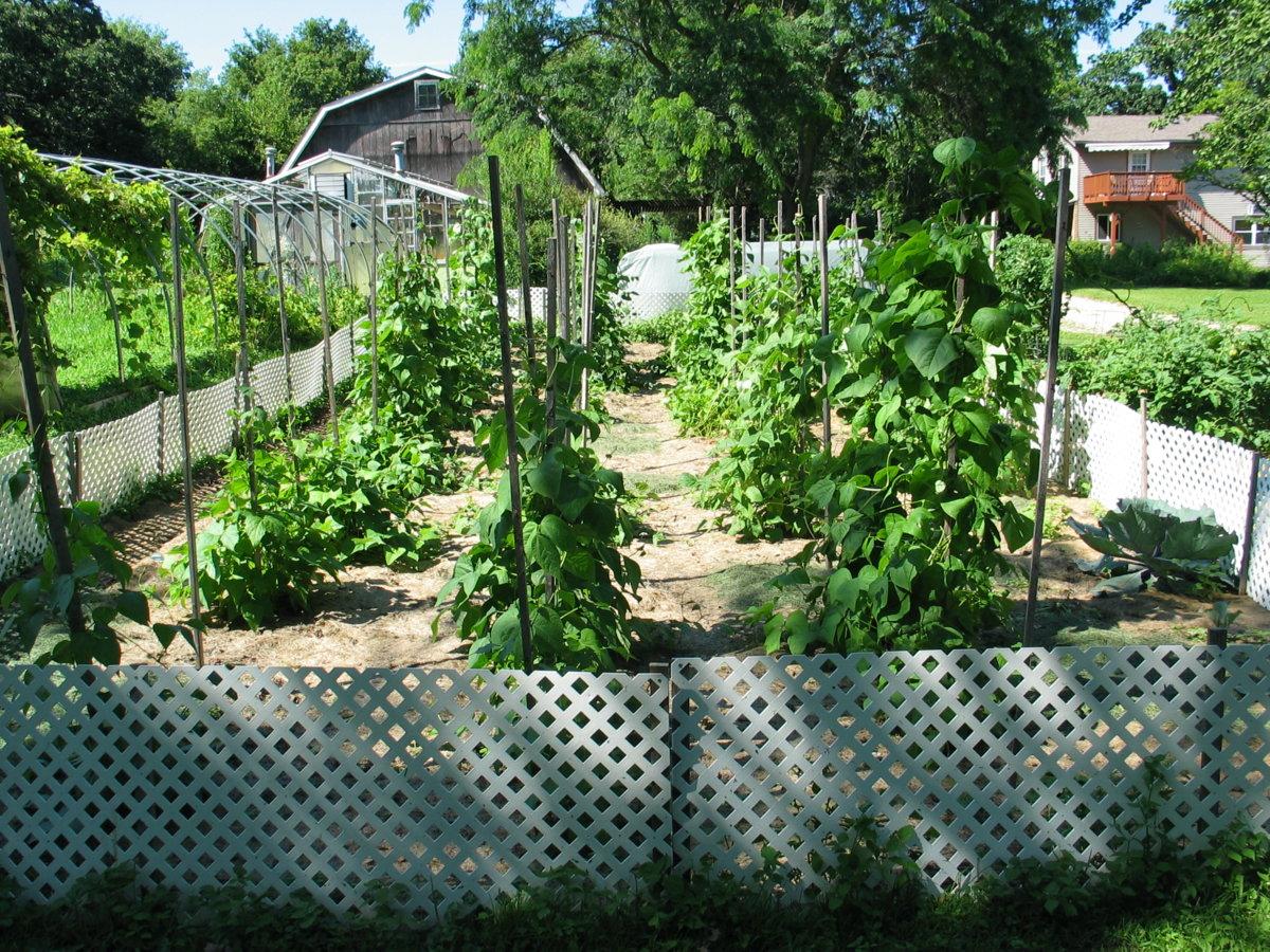Harwood Pole Beans 7-27-17 #1.jpg