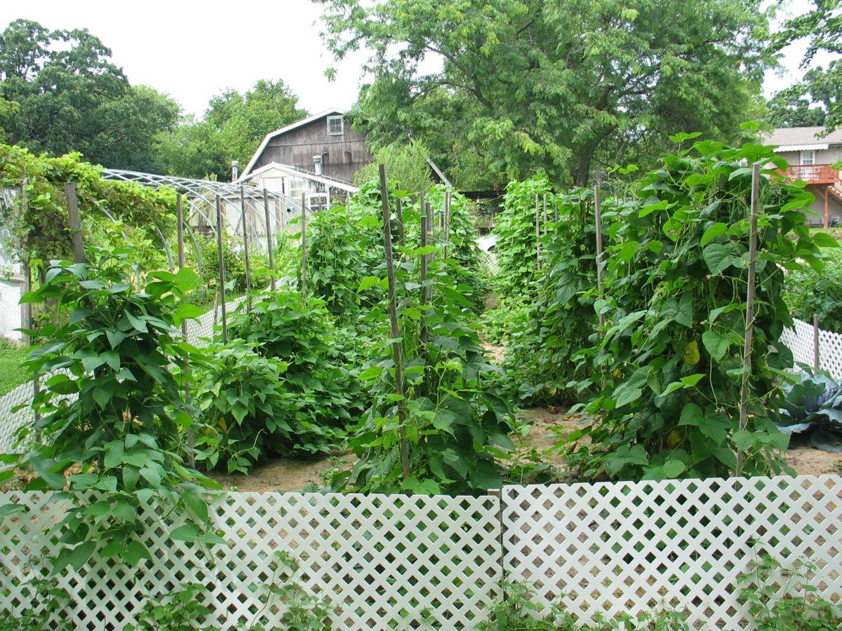 Harwood Pole Beans 8-21-17 #1.jpg