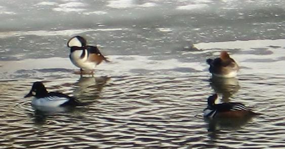hooded mergansers wf river 2.jpg