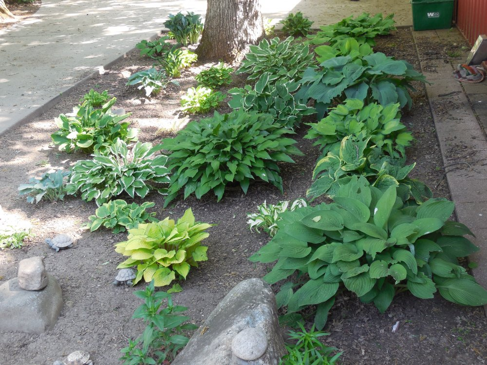 What to grow under oak trees : Here is an early spring photo of the hosta garden and one new