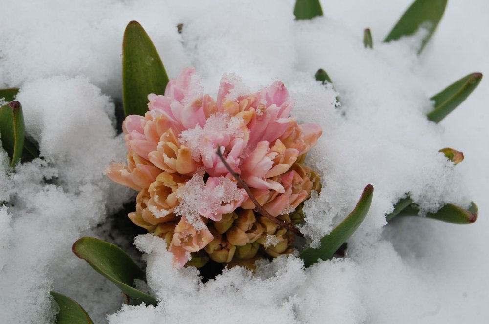 Hyacynth in snow.jpg