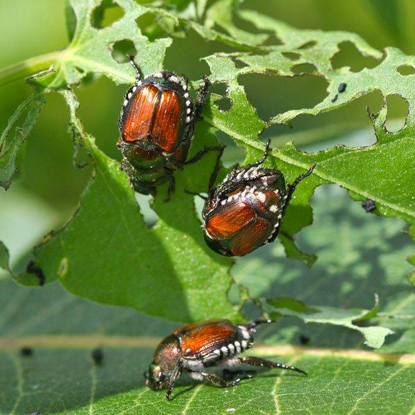 japanese-beetle-adults.jpg