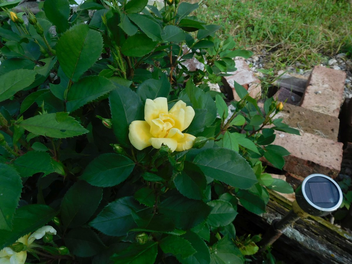 Knockout yellow rose, 06-01-19.jpg
