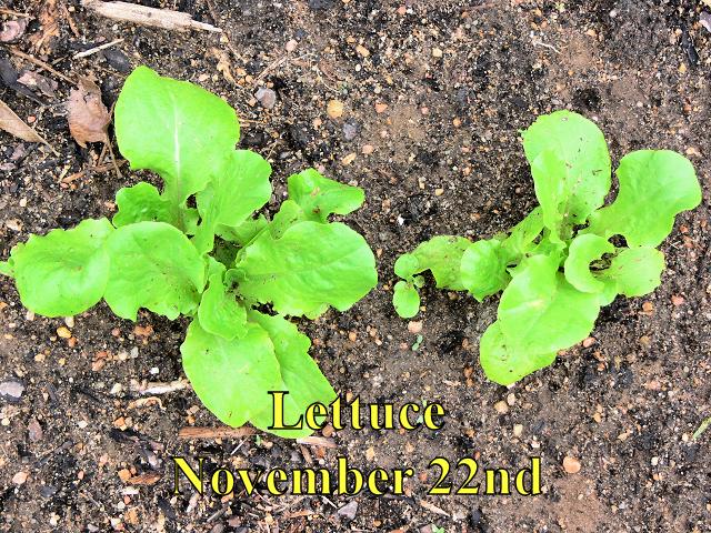 Lettuce_112214.jpg