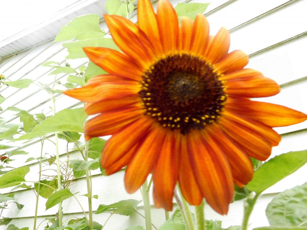 Mexican sunflower, S S garage, 08-17-19, #2.jpg