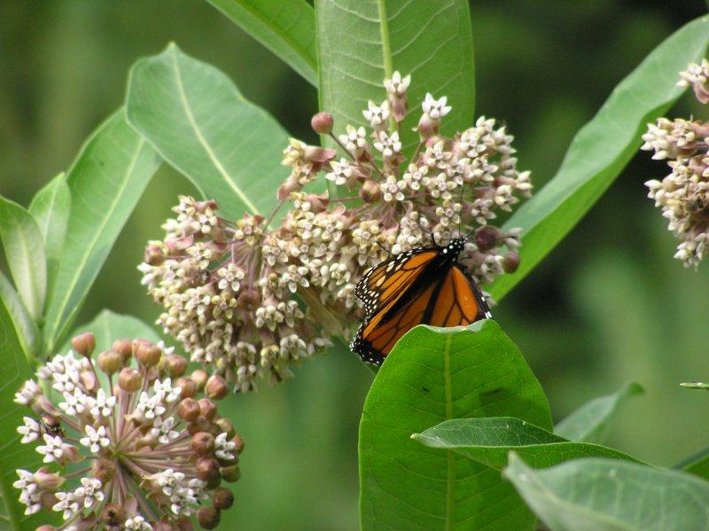 MonarchButterflyOnMilkweed18July2012.jpg
