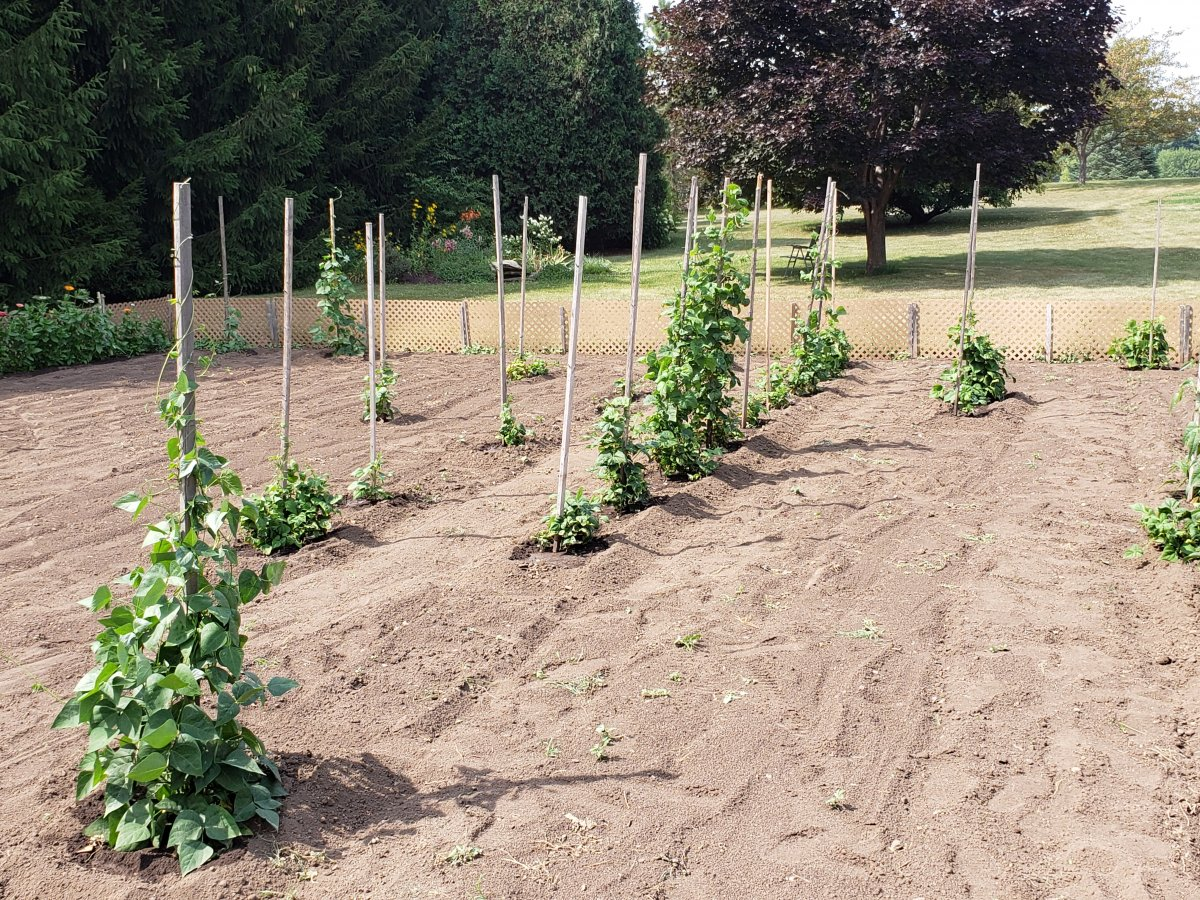 Pole Bean Plot #4 7-25-21.jpg