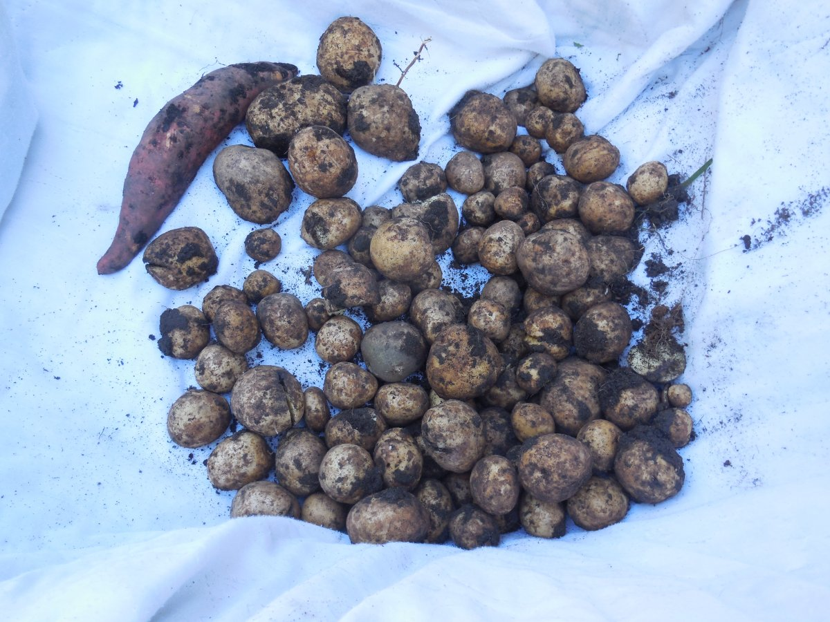 potato harvest 2016.JPG