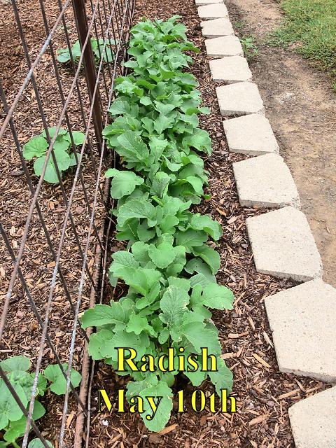 Radish_051017.jpg