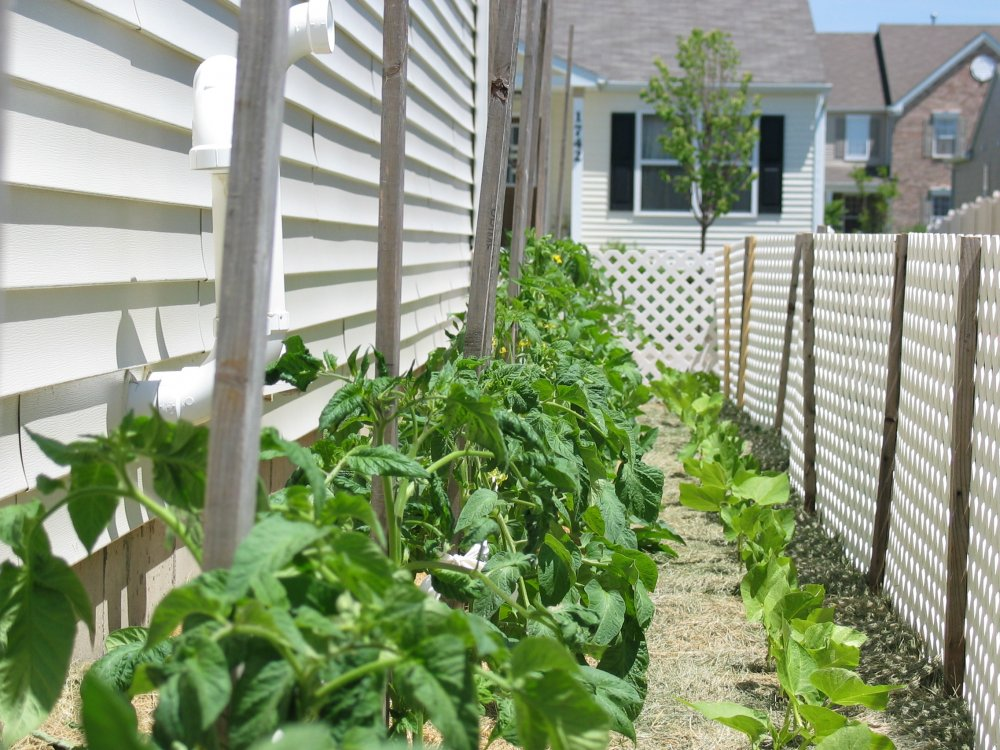South Bed Tomatoes.JPG