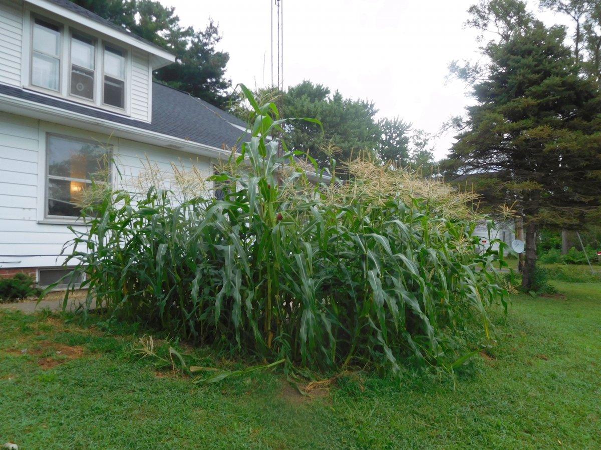 Sweet corn, 08-17-19, #1.jpg