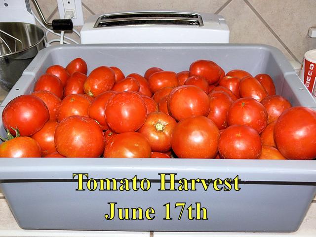 Tomato_Harvest_061717.jpg
