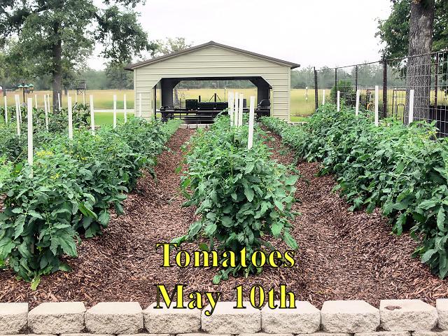 Tomatoes1_051017.jpg