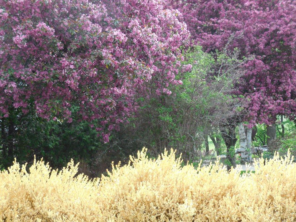 Trees flowering crab.JPG