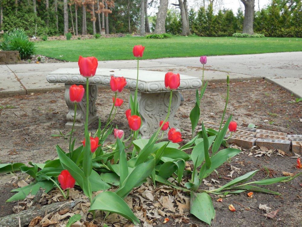 tulip turnaround.JPG