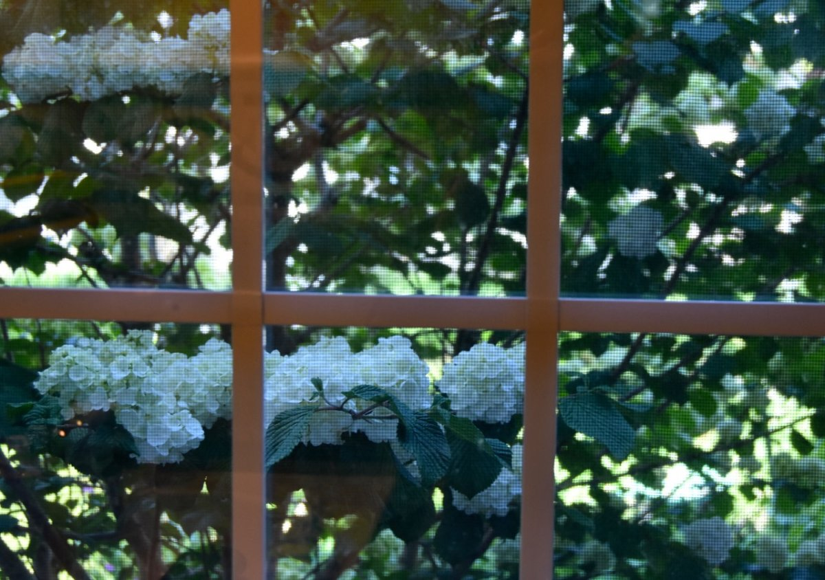 viburnum through window.jpg
