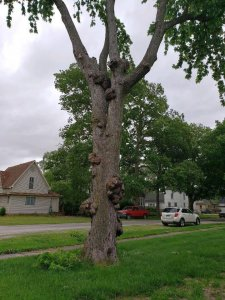 Sidney Gnarly tree, June, 2020, #3.jpg