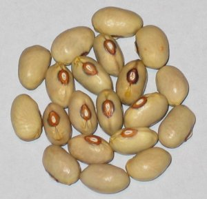 Ping Zebra Lima beam Old Chinese Heirloom 20 Seeds 2019