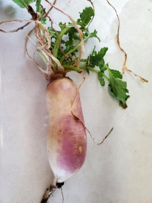 Surprise turnip, planted in 2020, 03-29-21.jpg